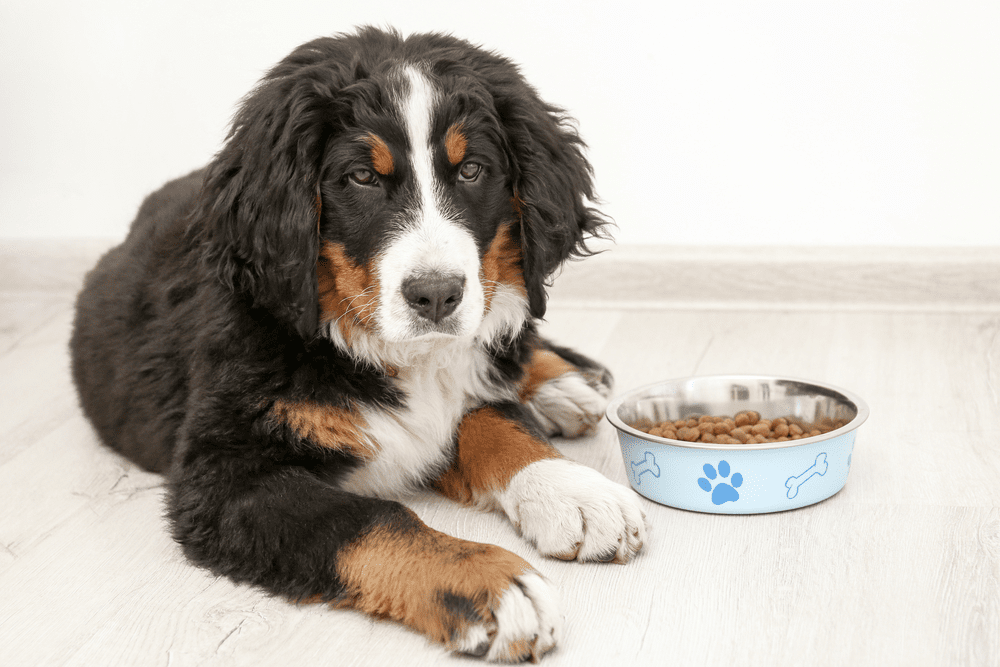 Whats The Best Dog Food For Your Bernese Mountain Dog