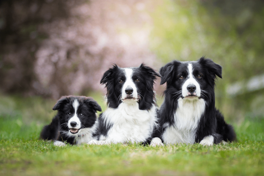 Top Foods for Border Collies