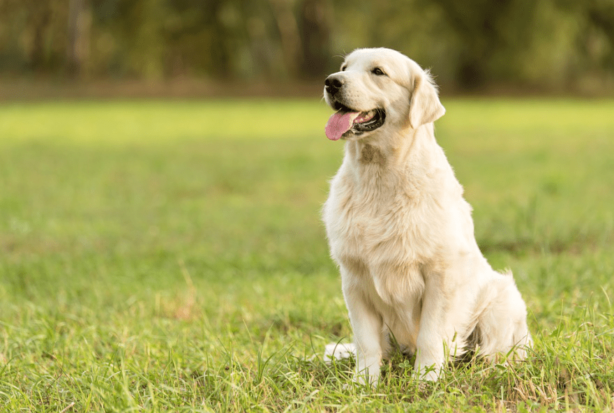 Top Dog Foods for Golden Retrievers