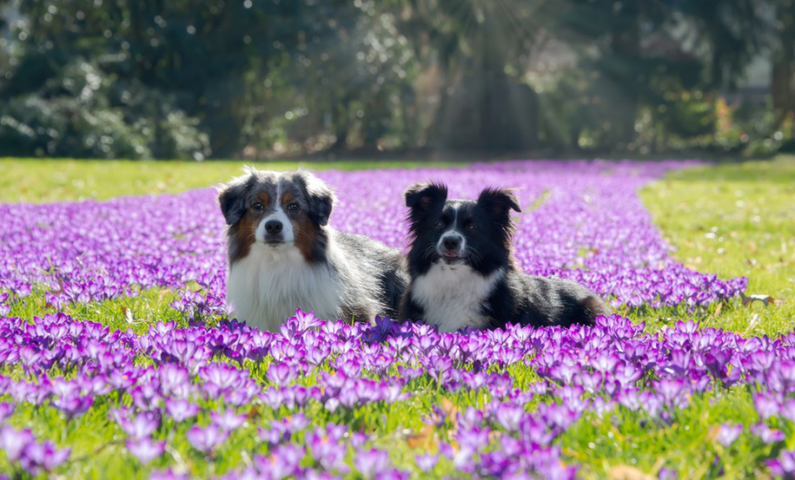 Top Dog Food Brands for Miniature American Shepherds