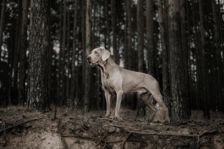 Top Dog Food Brands for Weimaraners