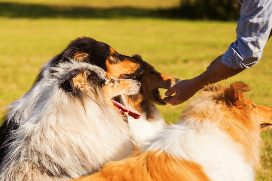 Top Dog Food for Collies