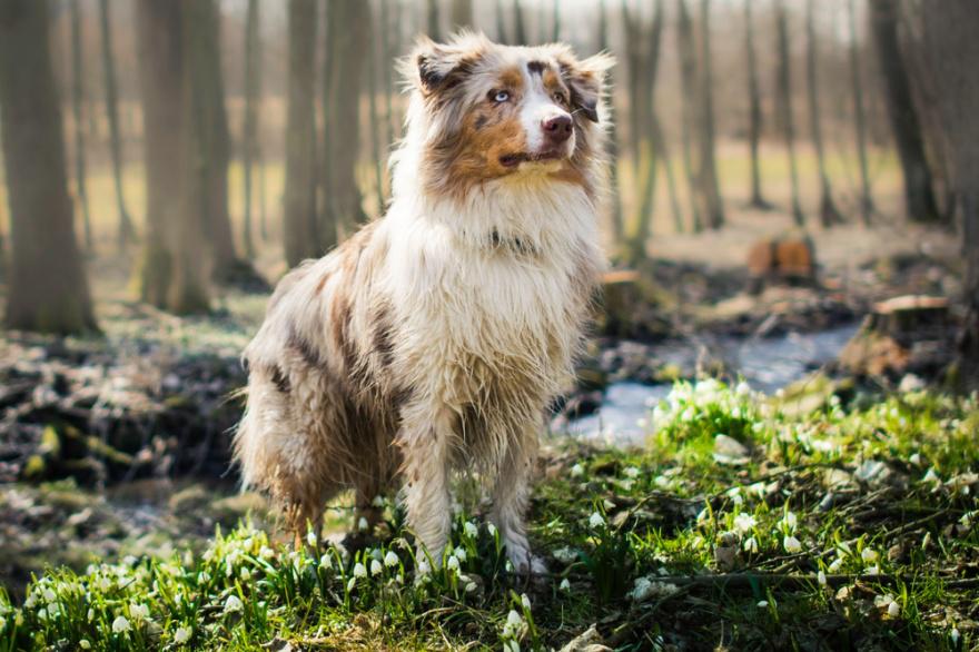 Best Dog Foods for Australian Shepherds