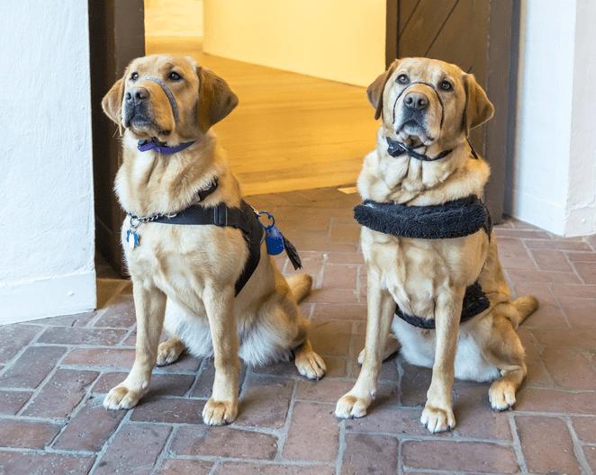Diabetic Service Dogs