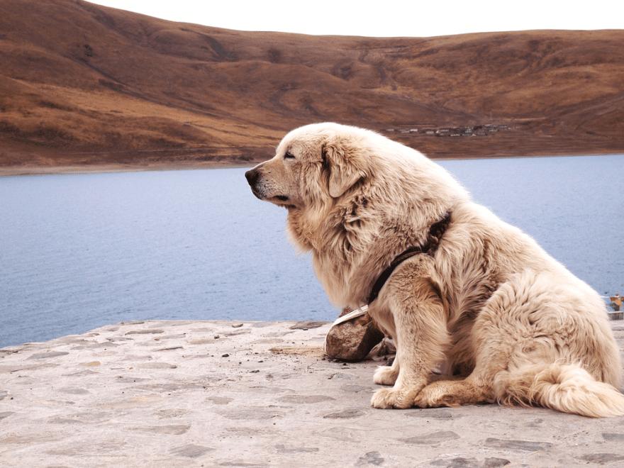Dog Food for Mastiffs