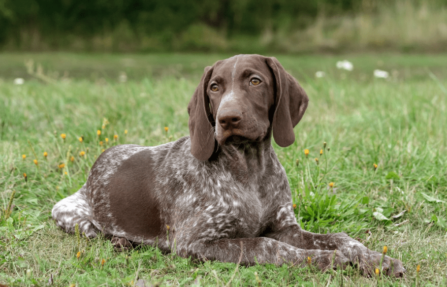 The Best Dog Food for German Shorthaired Pointers