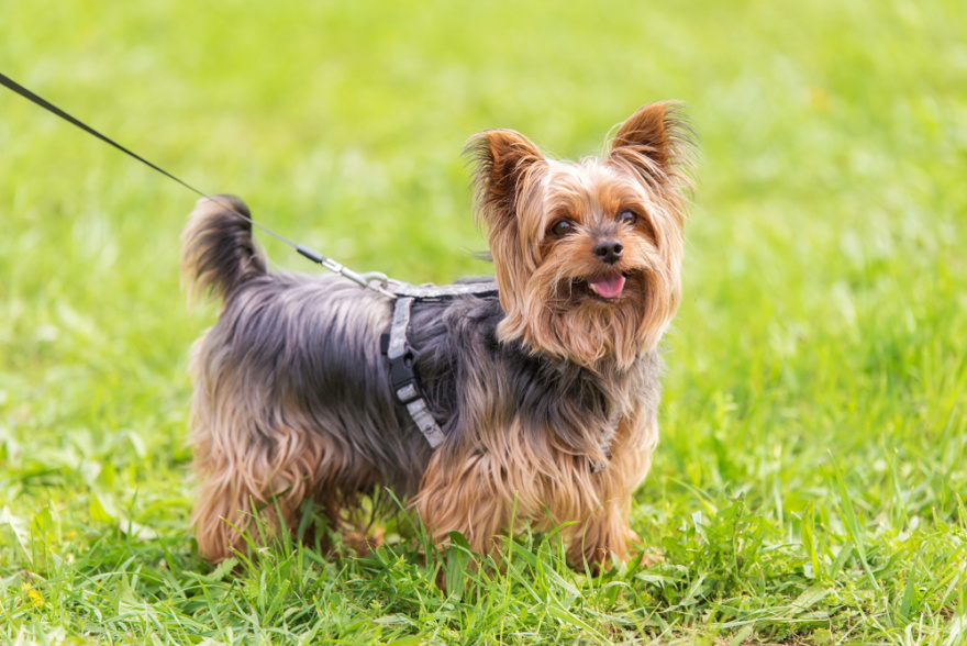 Top Dog Food for Yorkshire Terriers
